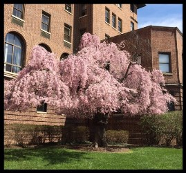 Cherry Tree donated by Capone to Union Memorial Hospital